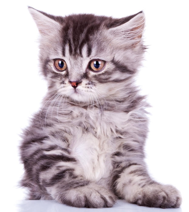 La Toilette kissanvessa